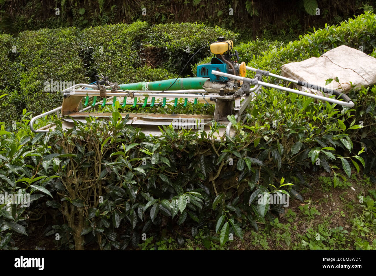 Tea picking machine, Malaysia. Speically designed two man gas driven machines can be used to mechanize picking on - Stock Image