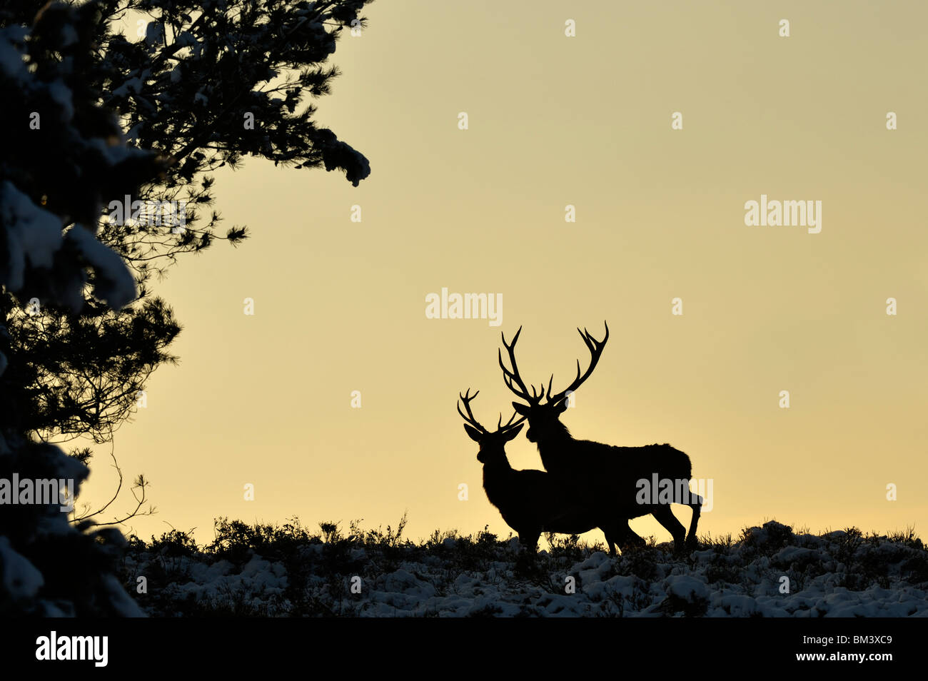 Red Deer (Cervus elaphus). Two stags silhouetted at dusk, Netherlands. - Stock Image
