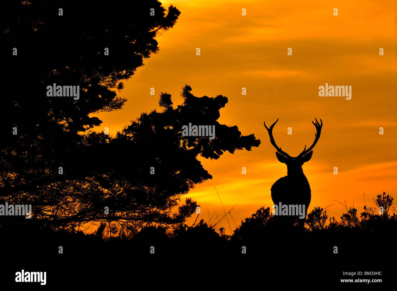 Red Deer (Cervus elaphus). Stag and pine silhouetted at dusk. - Stock Image