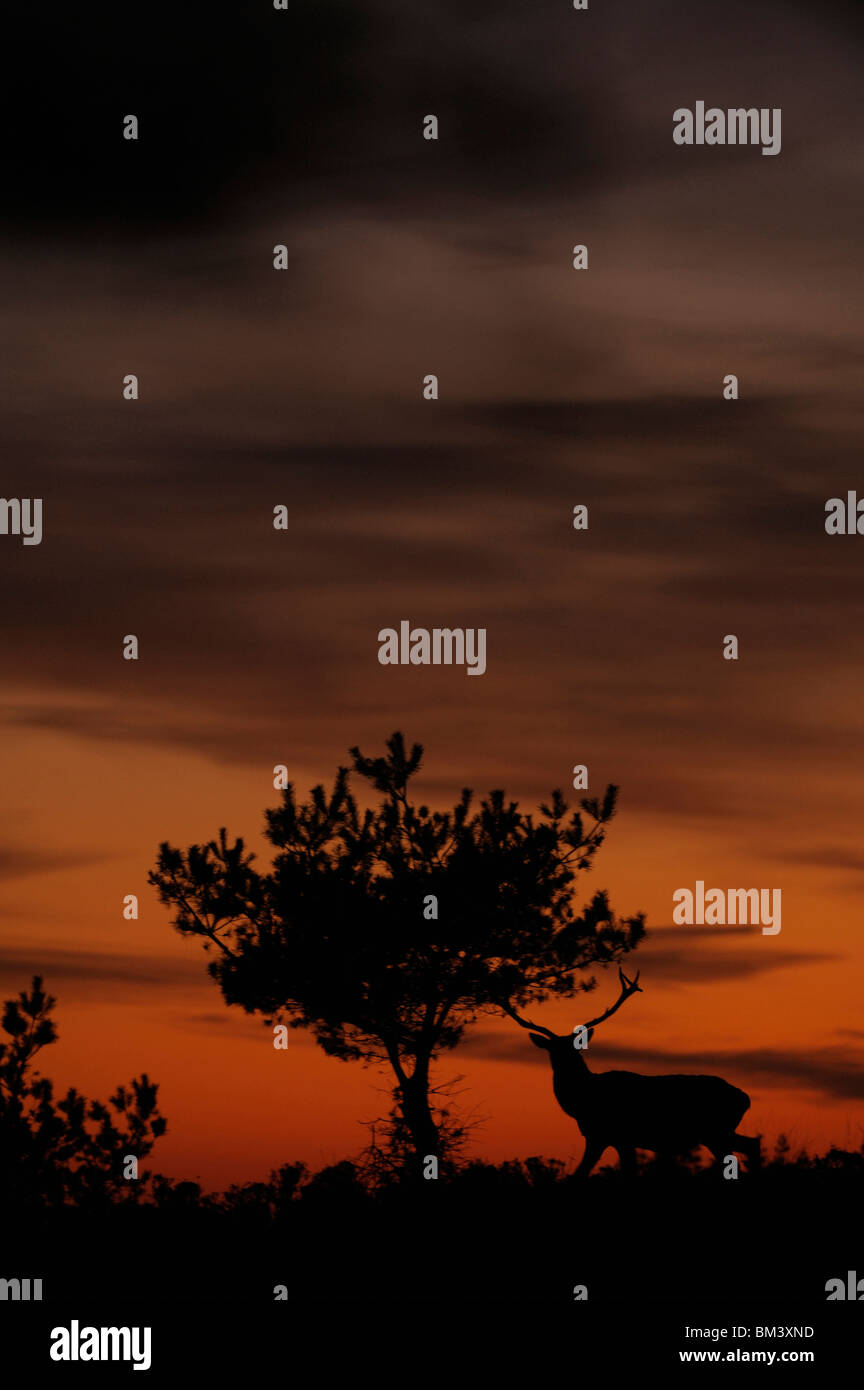 Red Deer (Cervus elaphus). Stag and pine tree silhouetted at dusk. - Stock Image