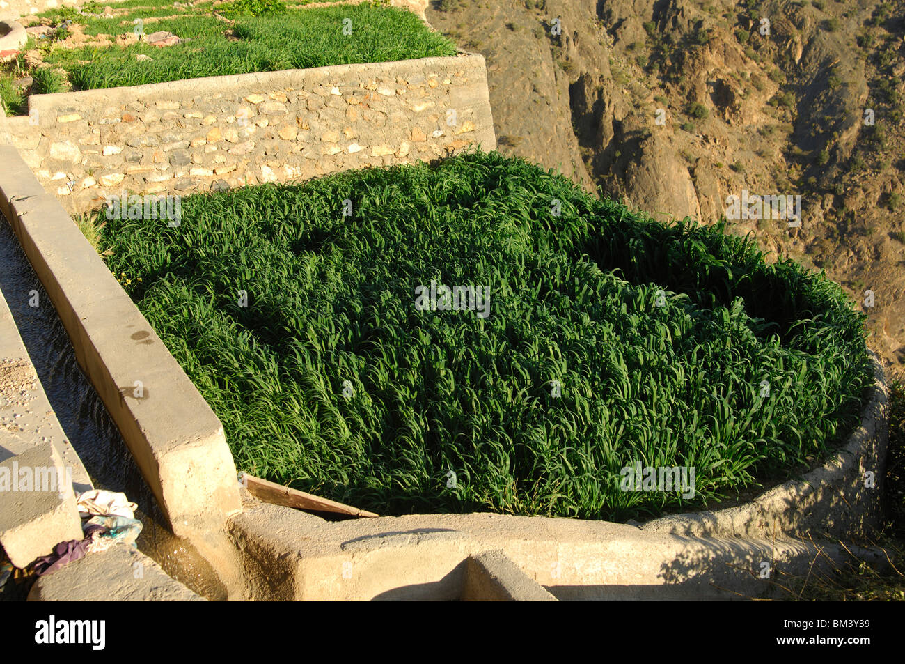 Tiny grain plot in the village of Ash Shirayjah, Saiq Plateau, Jebel al Alkhdar, Sultanate of Oman - Stock Image