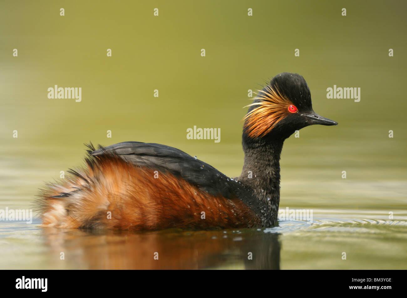 Black-necked Grebe (Podiceps nigricollis). Male in breeding plumage on a calm lake. - Stock Image