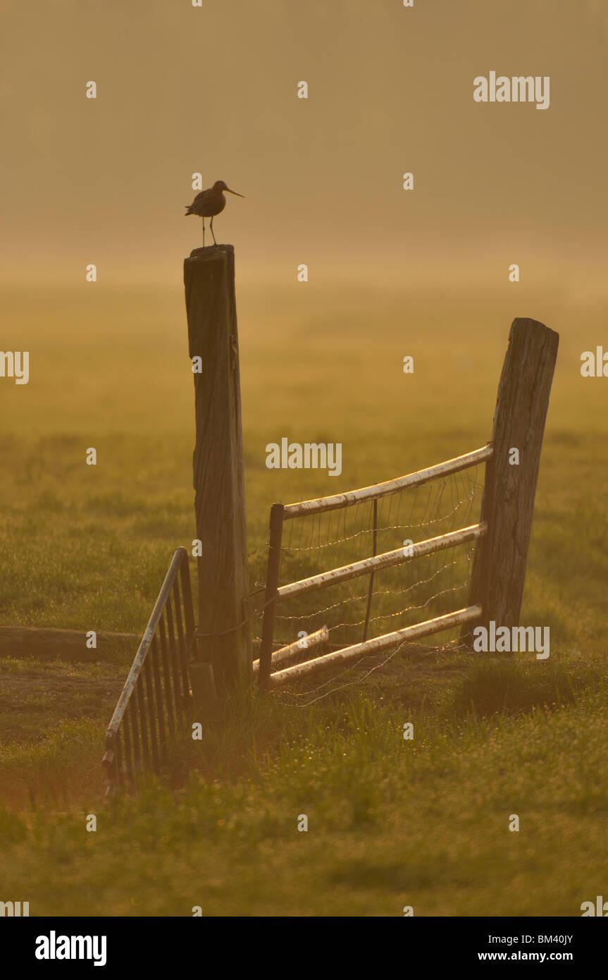 Black-tailed Godwit (Limosa limosa), male standing on a gate post, Netherlands. - Stock Image