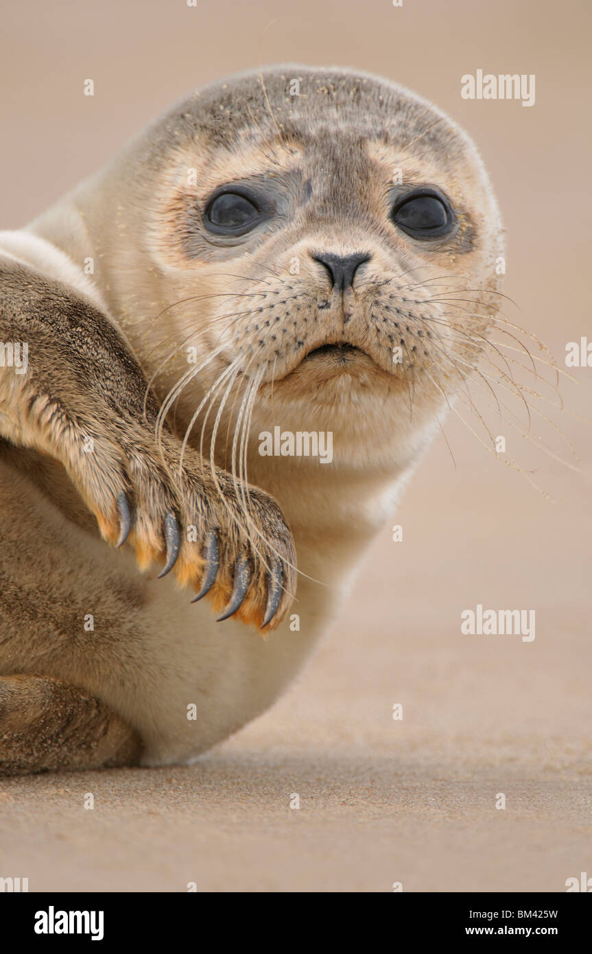 Common Seal (Phoca vitulina). Pup on a remote beach, Donna Nook, UK. - Stock Image