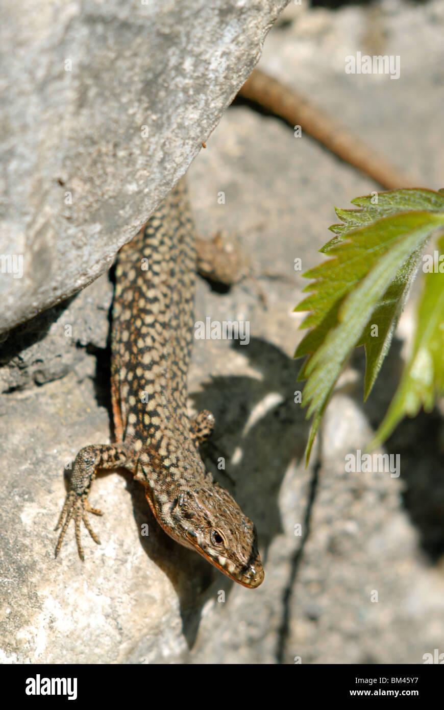 Common or European Wall lizard, Podarcis muralis, Susa, Piedmont, Italy. - Stock Image