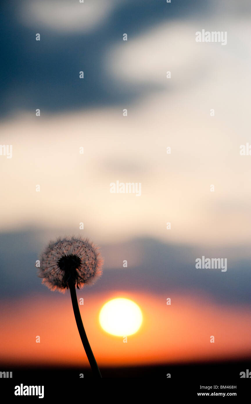 Dandelion seed head at sunset. Silhouette - Stock Image