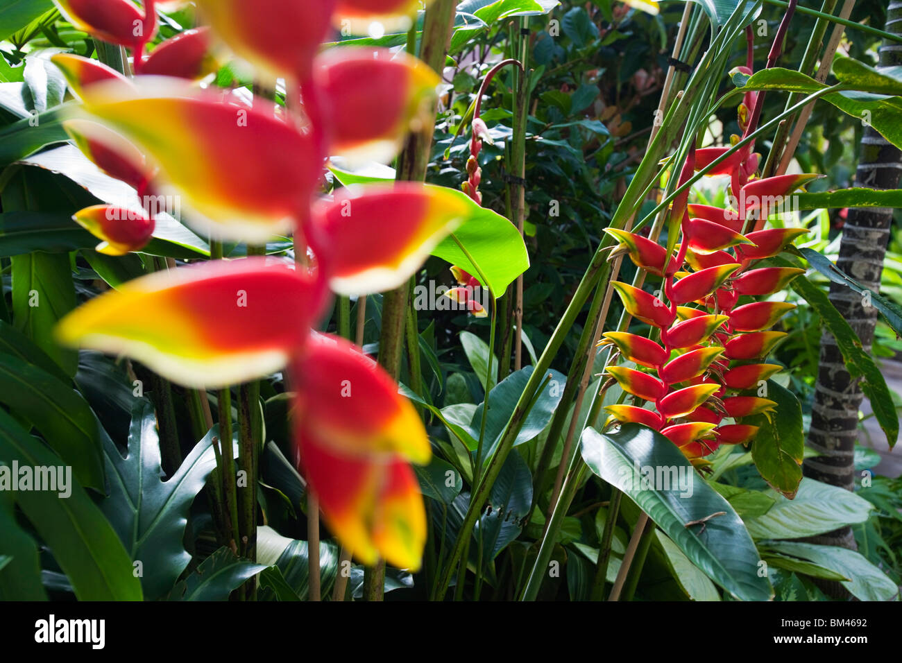 Heliconia flowers in the glasshouse at the Wintergarden, in the Auckland Domain. Auckland, North Island, New Zealand - Stock Image