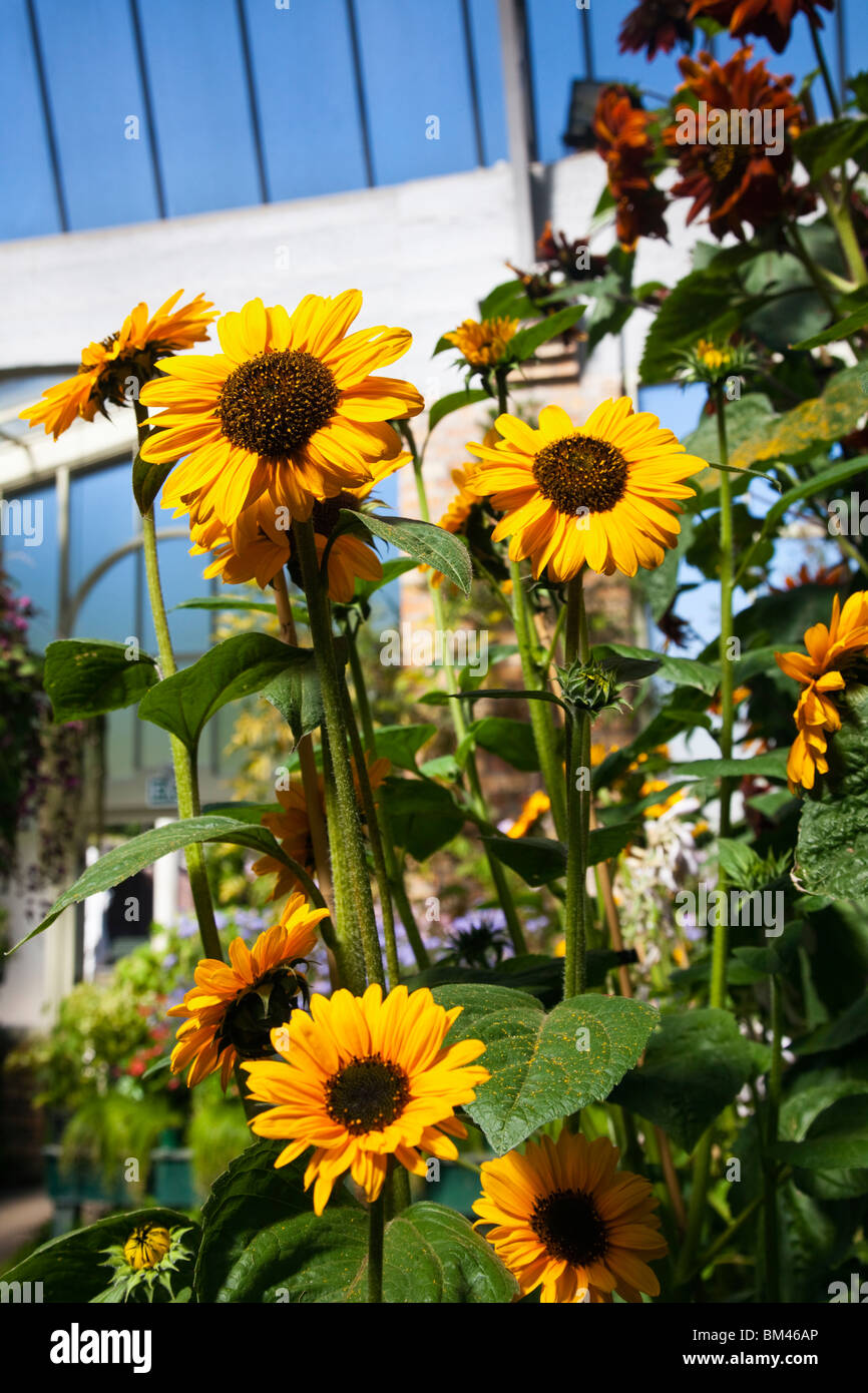 Sunflowers in the Wintergarden glasshouse. The Domain, Auckland, North Island, New Zealand - Stock Image