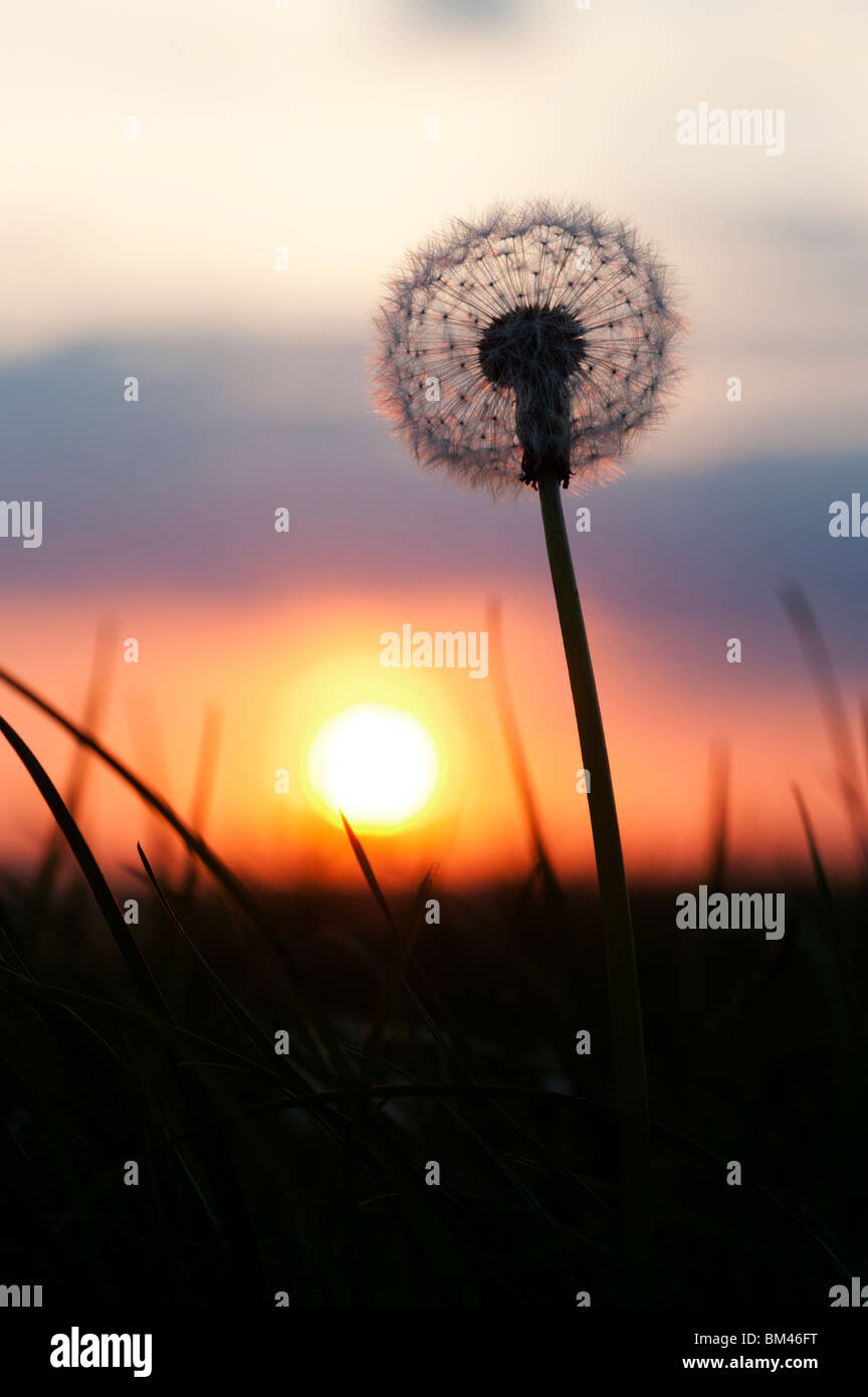Dandelion seed head silhouette at sunset - Stock Image