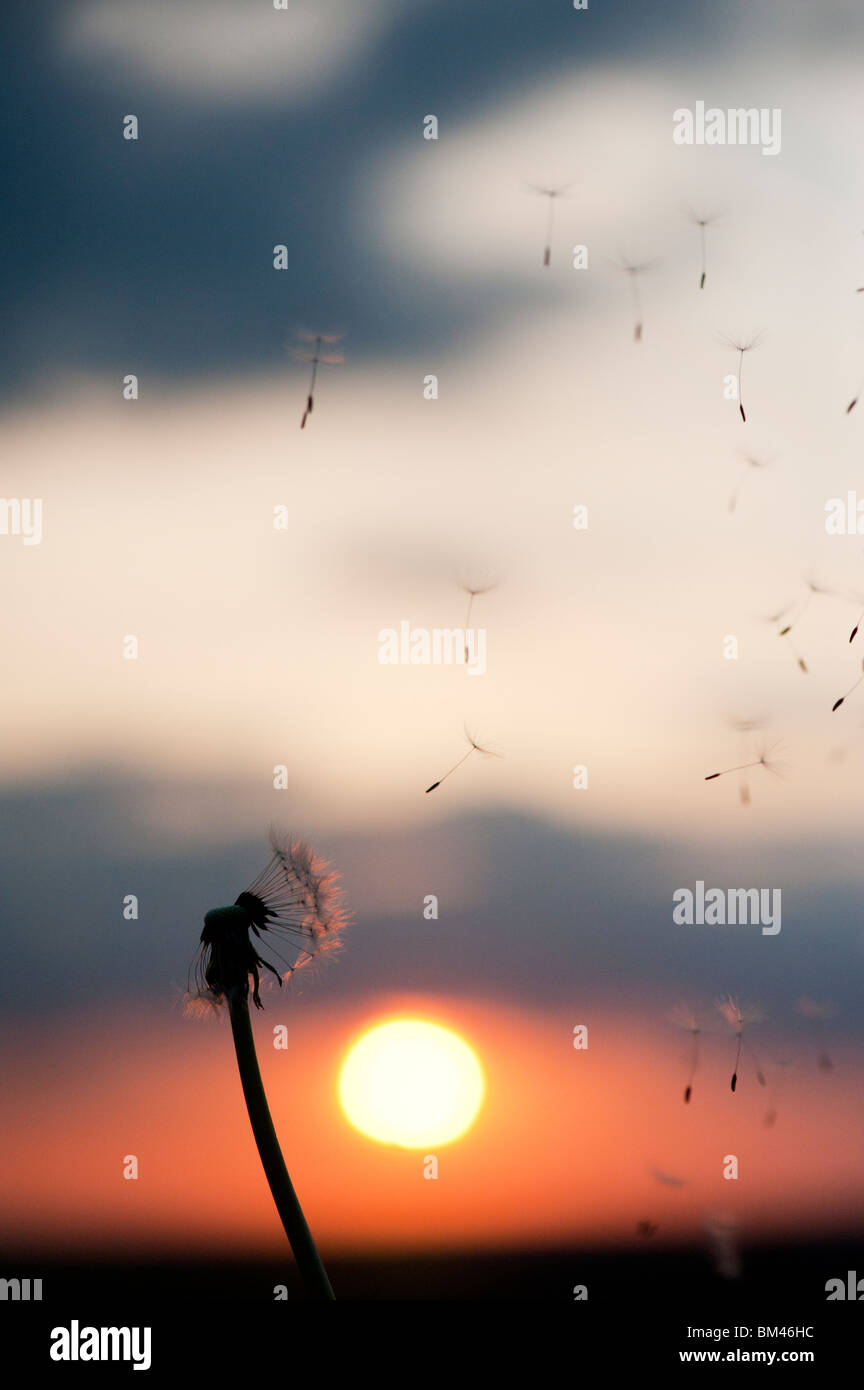 Dandelion seeds dispersing at sunset. Silhouette - Stock Image