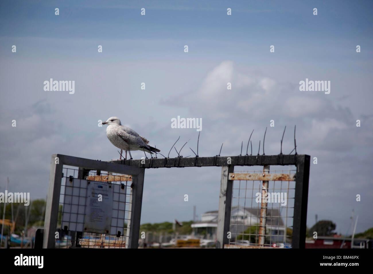 Sea Gull, standing on deterrent, Littlehampton - Stock Image