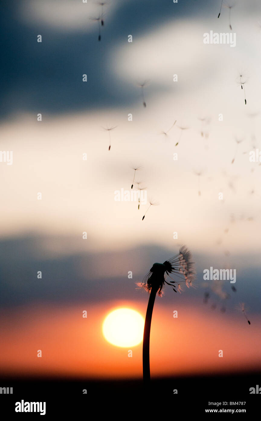 Dandelion seeds dispersing at sunset. Silhouette Stock Photo