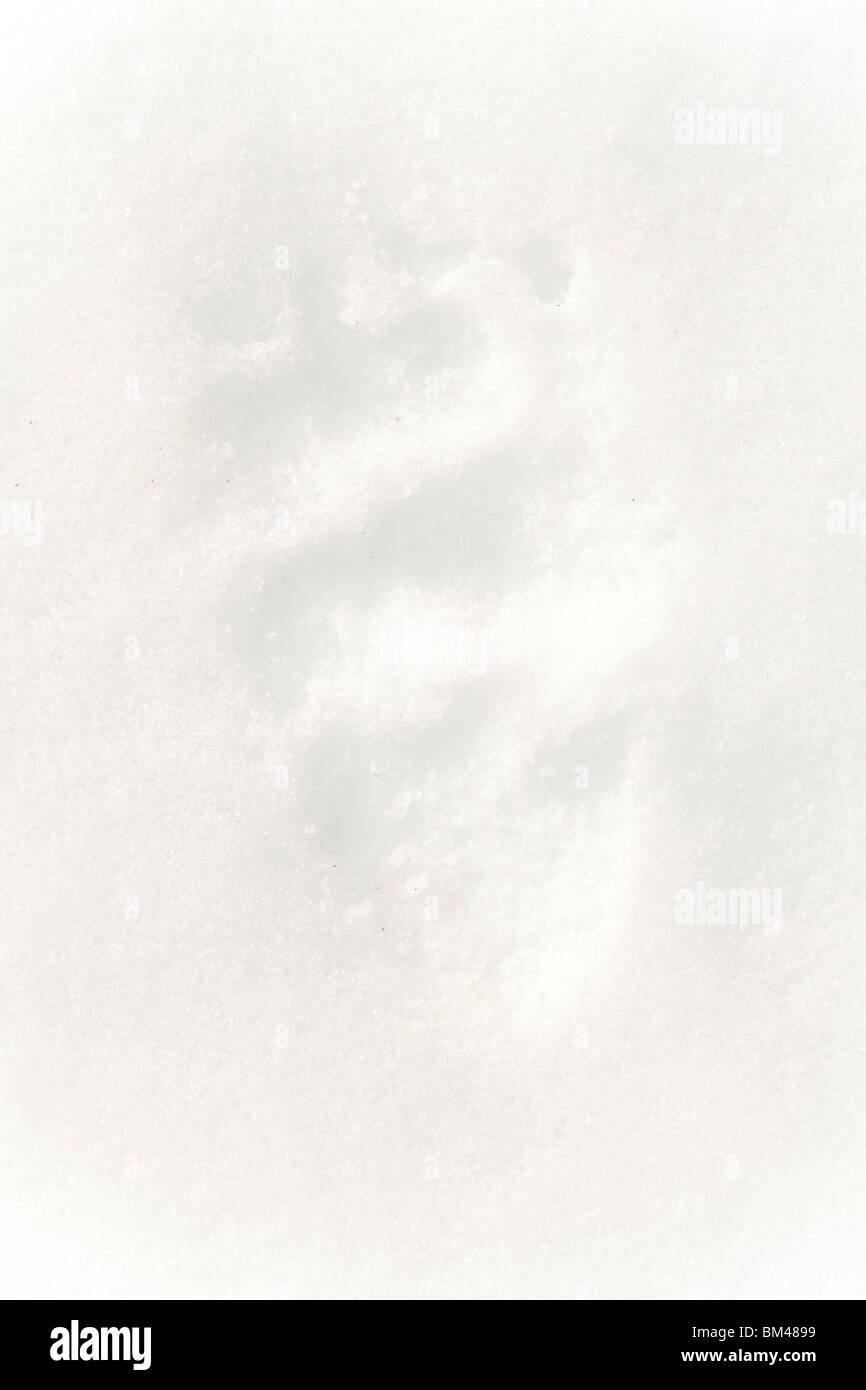 Eurasian Brown Bear tracks in the snow. - Stock Image