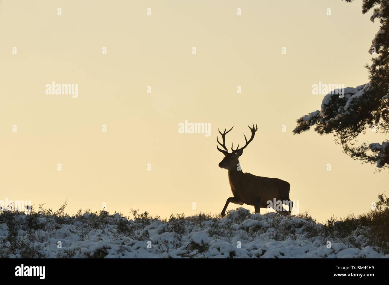 Red Deer (Cervus elaphus). Male walking in snow-covered heathland at dusk. - Stock Image