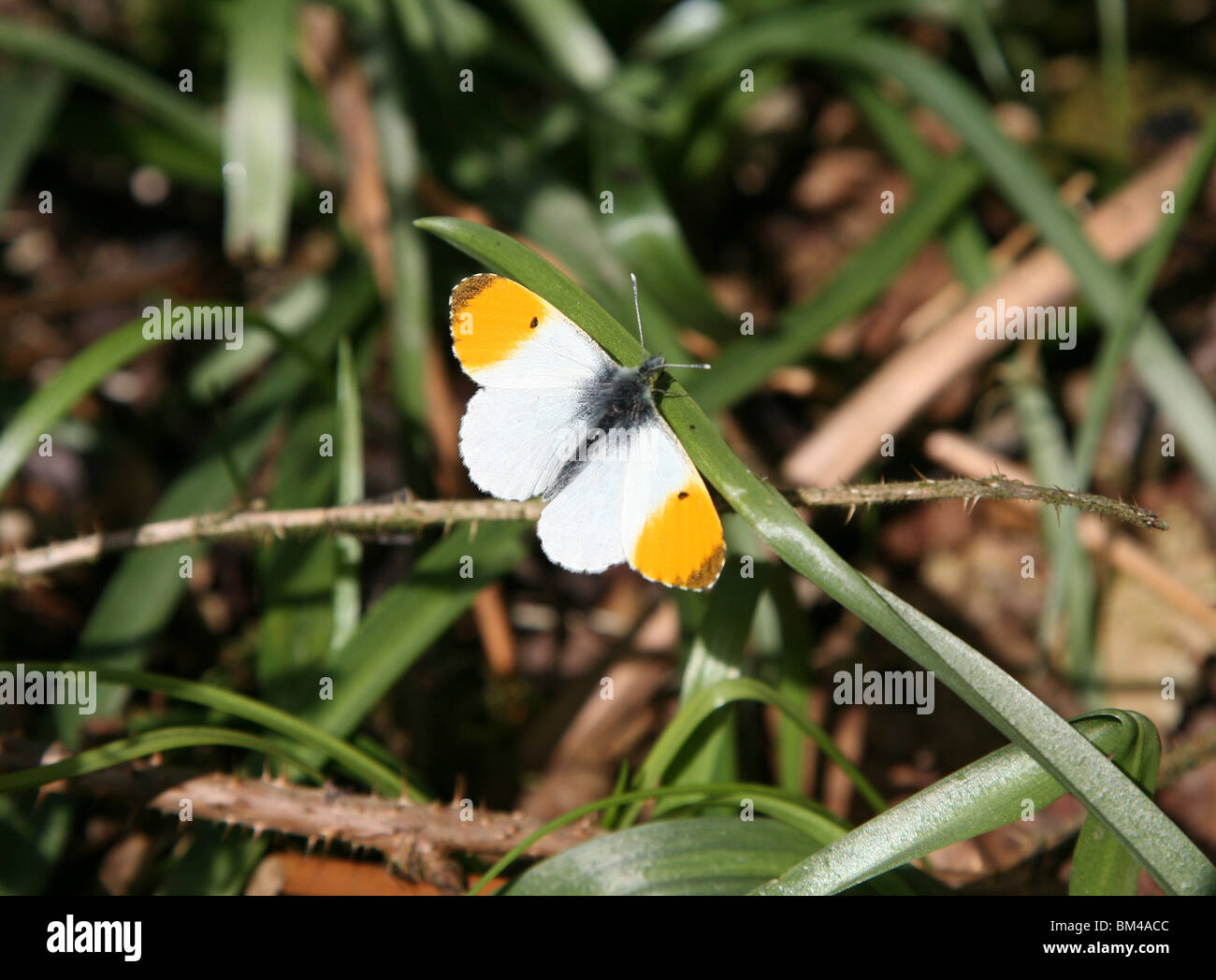 Orange Tip Butterfly (Anthocharis cardamines) resting with wings spread wide Stock Photo