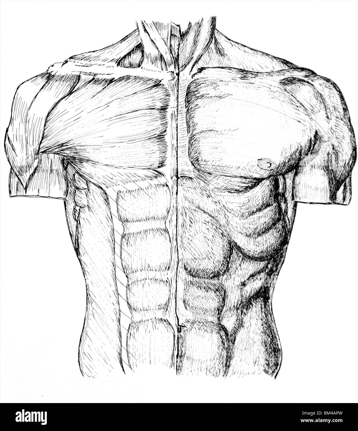 pen and ink anatomical drawing of the upper torso and chest of a man ...