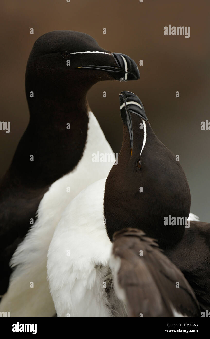 Razorbill (Alca torda), loving pair. - Stock Image