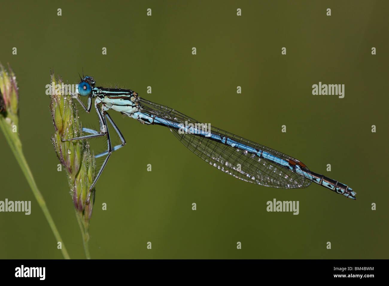 Blaue, Federlibelle, Platycnemis, pennipes - Stock Image