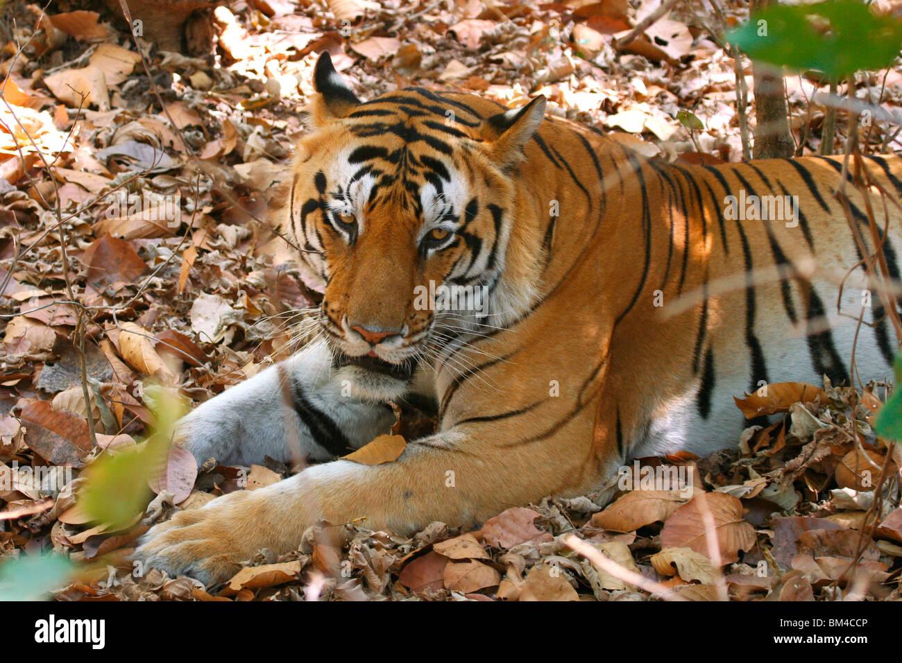 The Royal Bengal Tiger (Panthera tigris tigris) resting in Kanha National Park, Madhya Pradesh, India, Asia Stock Photo