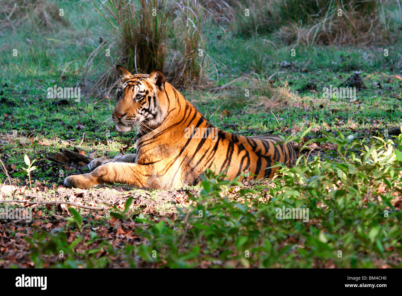 The Royal Bengal Tiger (Panthera tigris tigris), Bandhavgarh National Park, Madhya Pradesh, India, Asia Stock Photo
