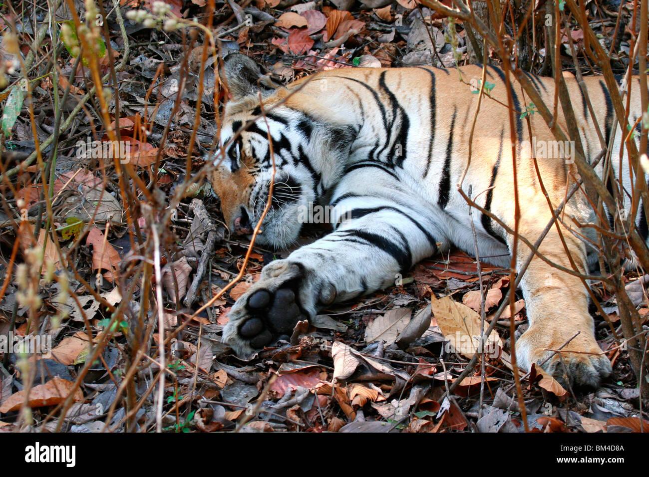 The Royal Bengal Tiger (Panthera tigris tigris) sleeping in Kanha National Park, Madhya Pradesh, India, Asia Stock Photo