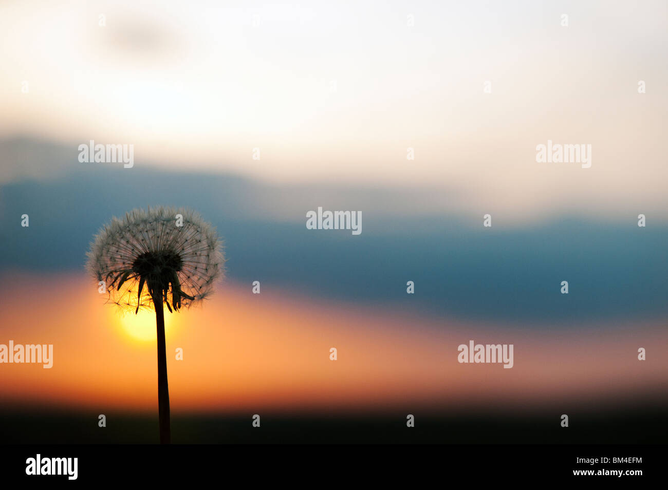 Dandelion seed head at sunset. Silhouette Stock Photo