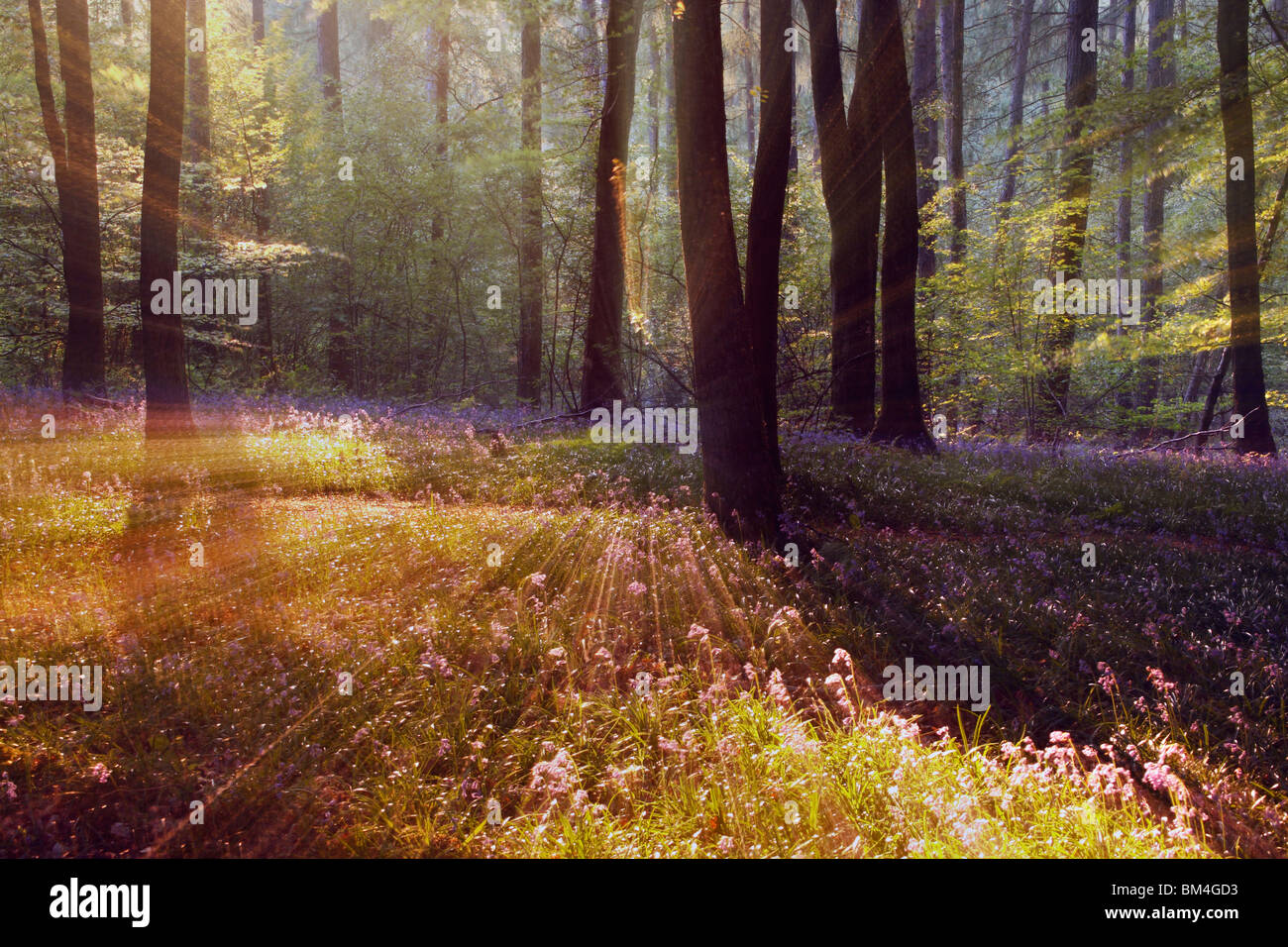 Impressions of the classic bluebell wood in the Forest of Dean, Gloucestershire, England Stock Photo
