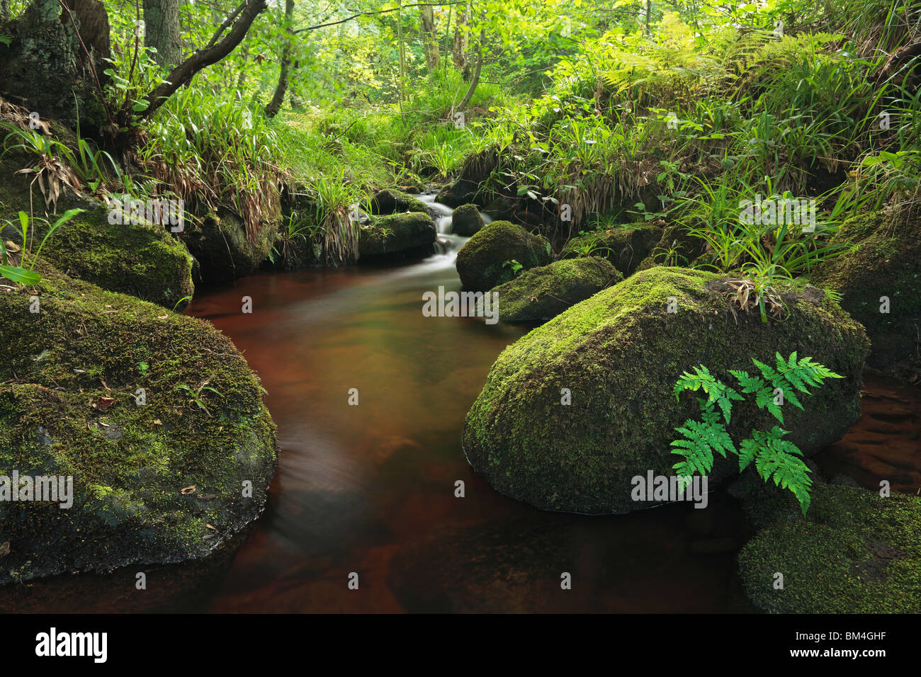A lone fern clings to a moss-covered rock in Padley Gorge, Grindleford, Peak District, Derbyshire - Stock Image