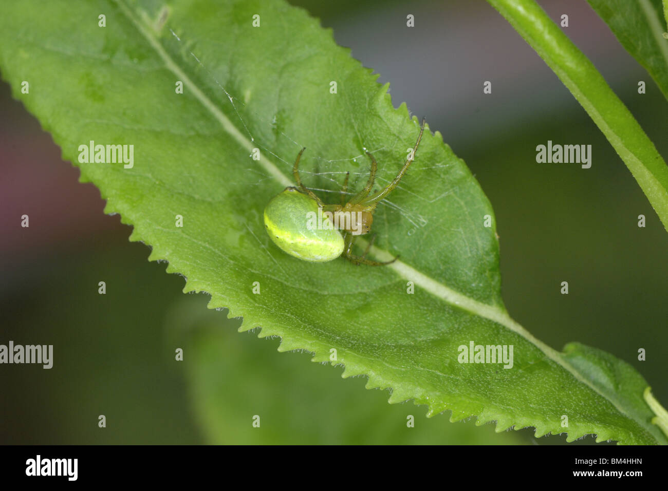 Cucumber green spider on leaf - Stock Image