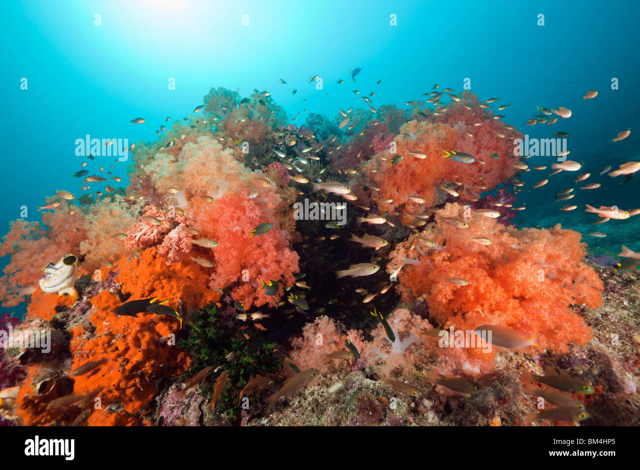 Red Soft Corals at Coral Reef, Dendronephthya sp., Raja Ampat, West Papua, Indonesia - Stock Image