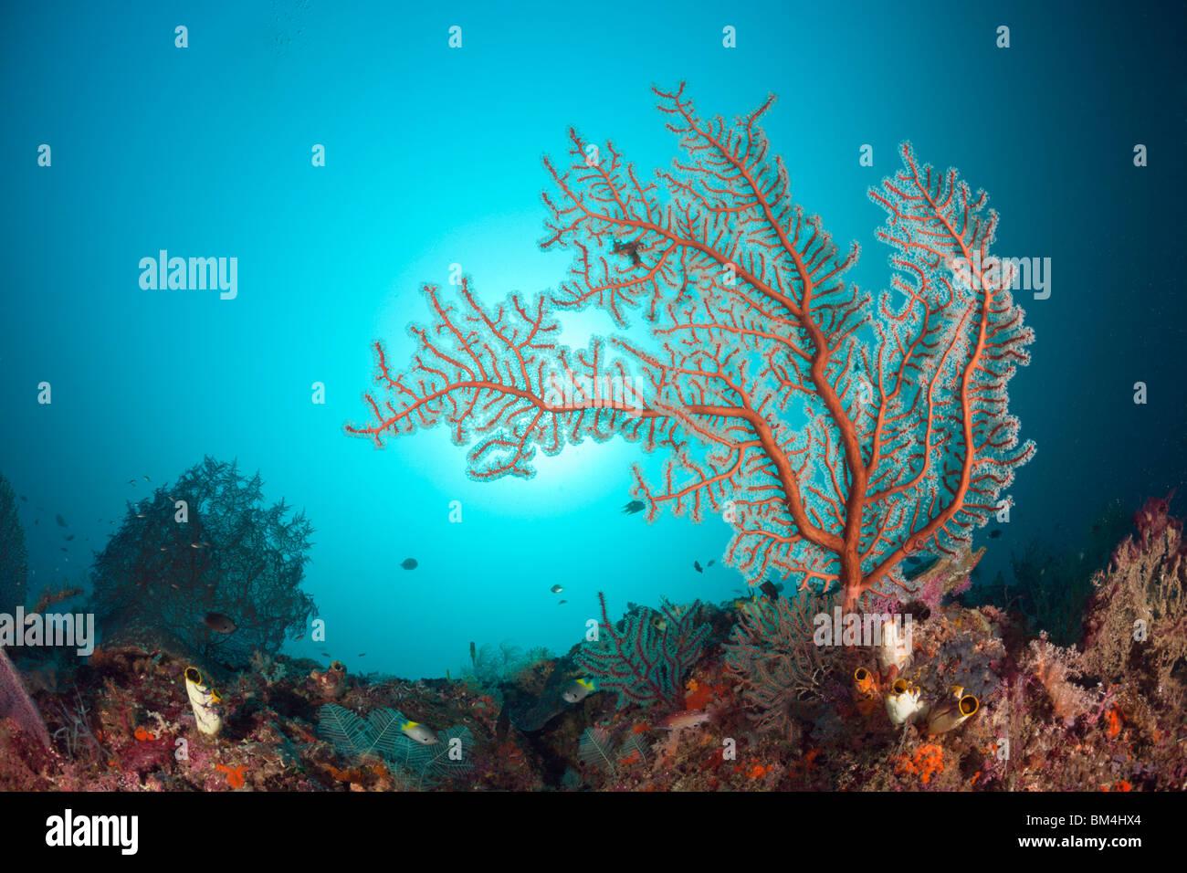 Sea Fan in Coral Reef, Raja Ampat, West Papua, Indonesia - Stock Image
