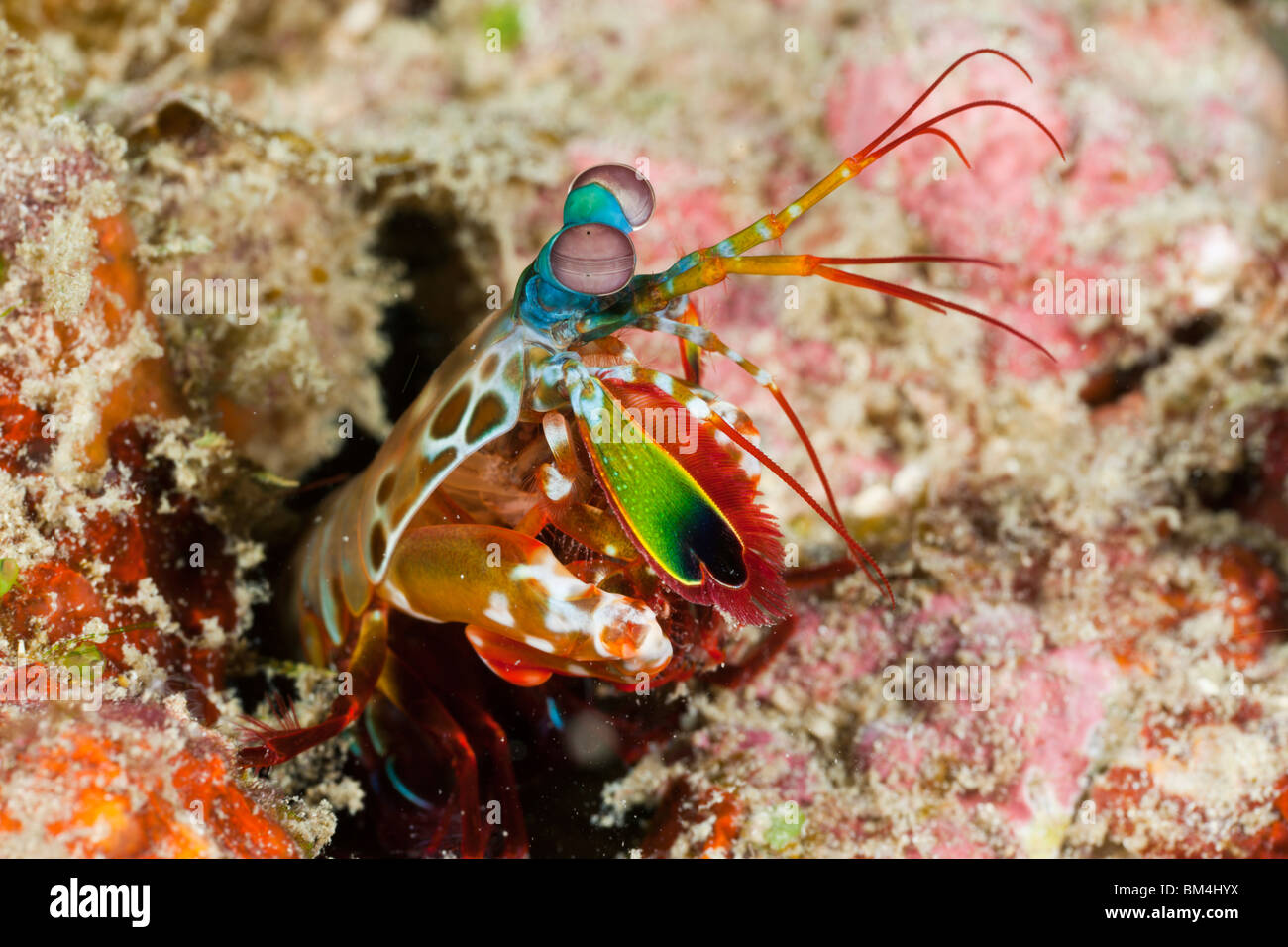 Mantis Shrimp, Odontodactylus scyllarus, Raja Ampat, West Papua, Indonesia - Stock Image