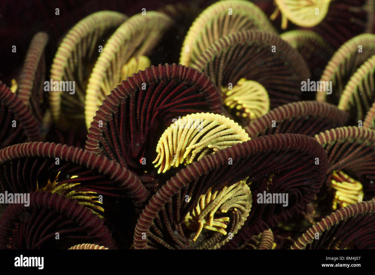 Tentacle of Crinoid, Comantheria sp., Raja Ampat, West Papua, Indonesia - Stock Image