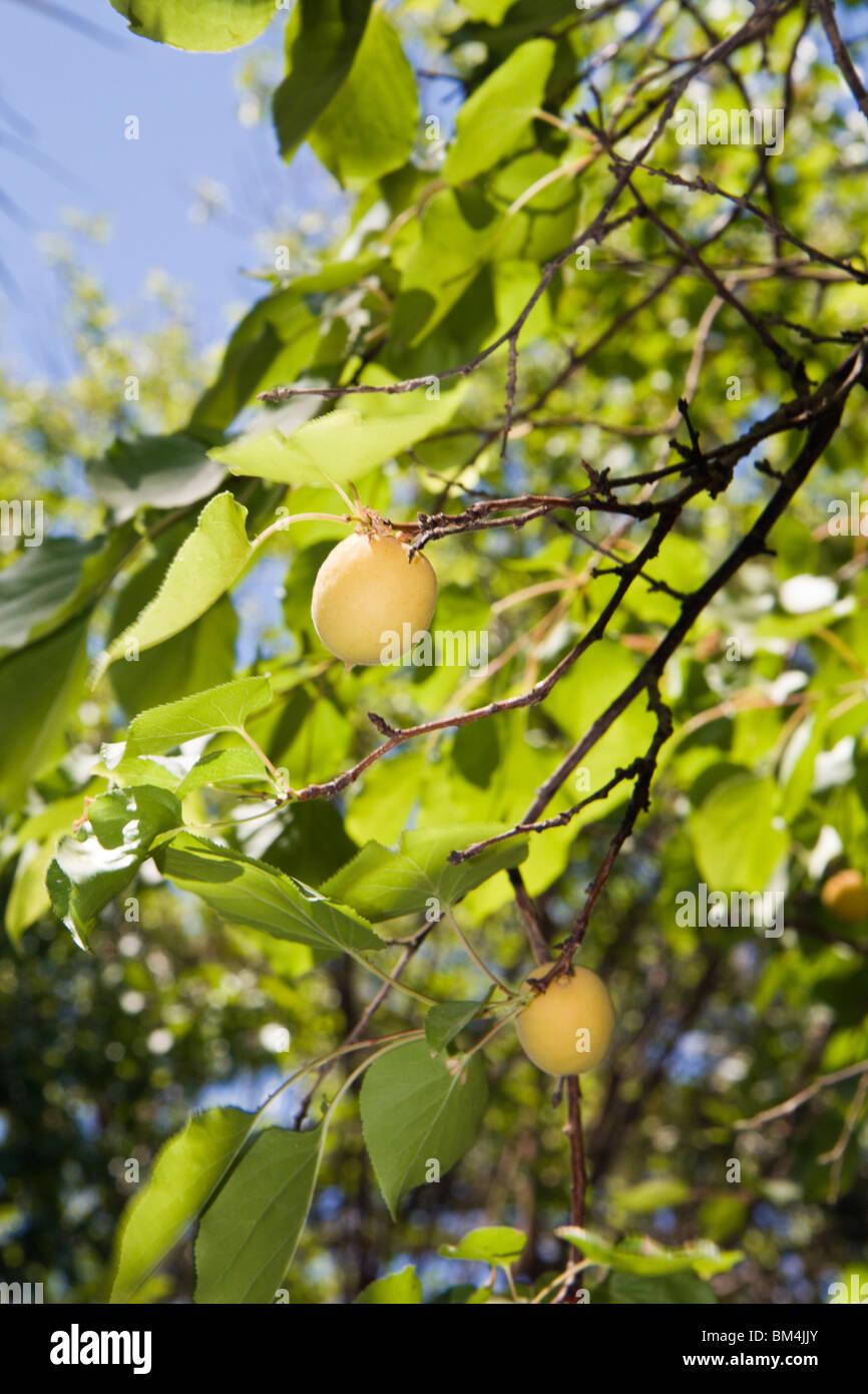 Apricot Tree with Fruits, Prunus spec., Bahariya Oasis, Libyan Desert, Egypt - Stock Image