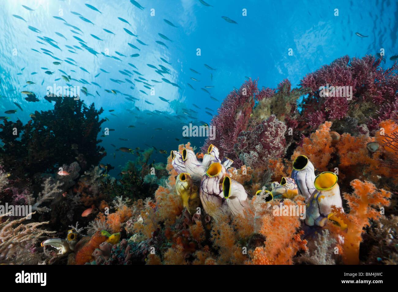 Healthy Coral Reef, Raja Ampat, West Papua, Indonesia - Stock Image