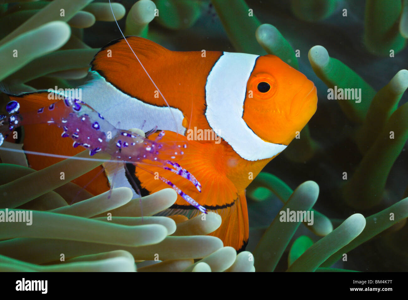 Anemone Shrimp and Clown Anemonefish, Periclimenes tosaensis, Amphiprion ocellaris, Raja Ampat, West Papua, Indonesia - Stock Image