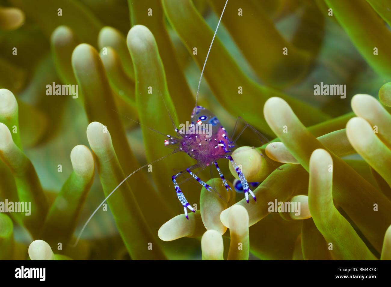 Anemone Comensal Shrimp, Periclimenes tosaensis, Raja Ampat, West Papua, Indonesia - Stock Image
