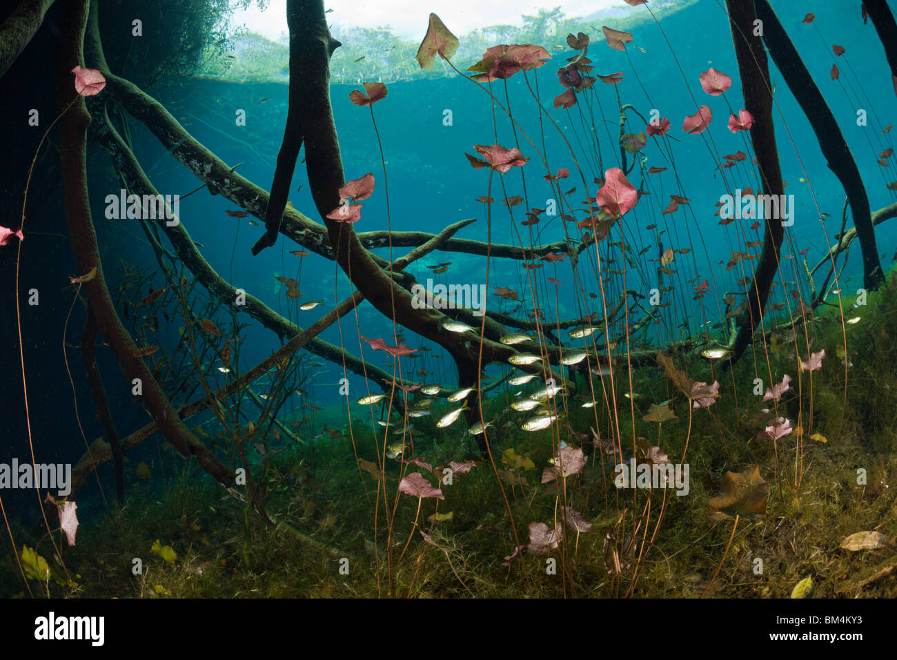 Water Lilies and Shoal of Tetra in Cenote, Astyanax aeneus, Tulum, Yucatan Peninsula, Mexico - Stock Image