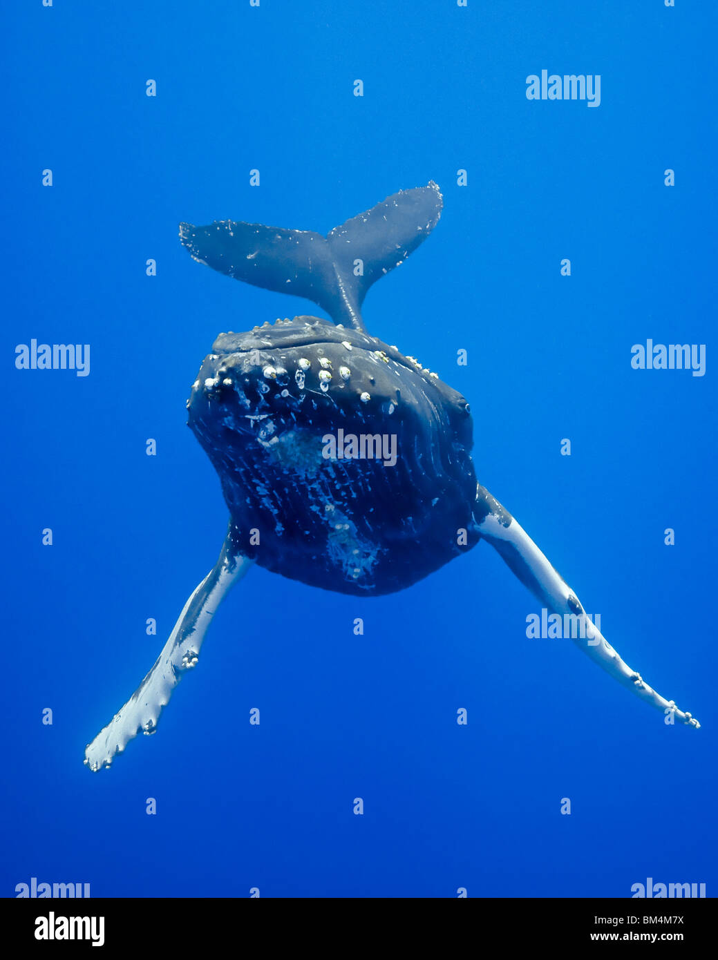 Humpback Whale, Megaptera novaeangliae, Pacific Ocean, Hawaii, USA - Stock Image