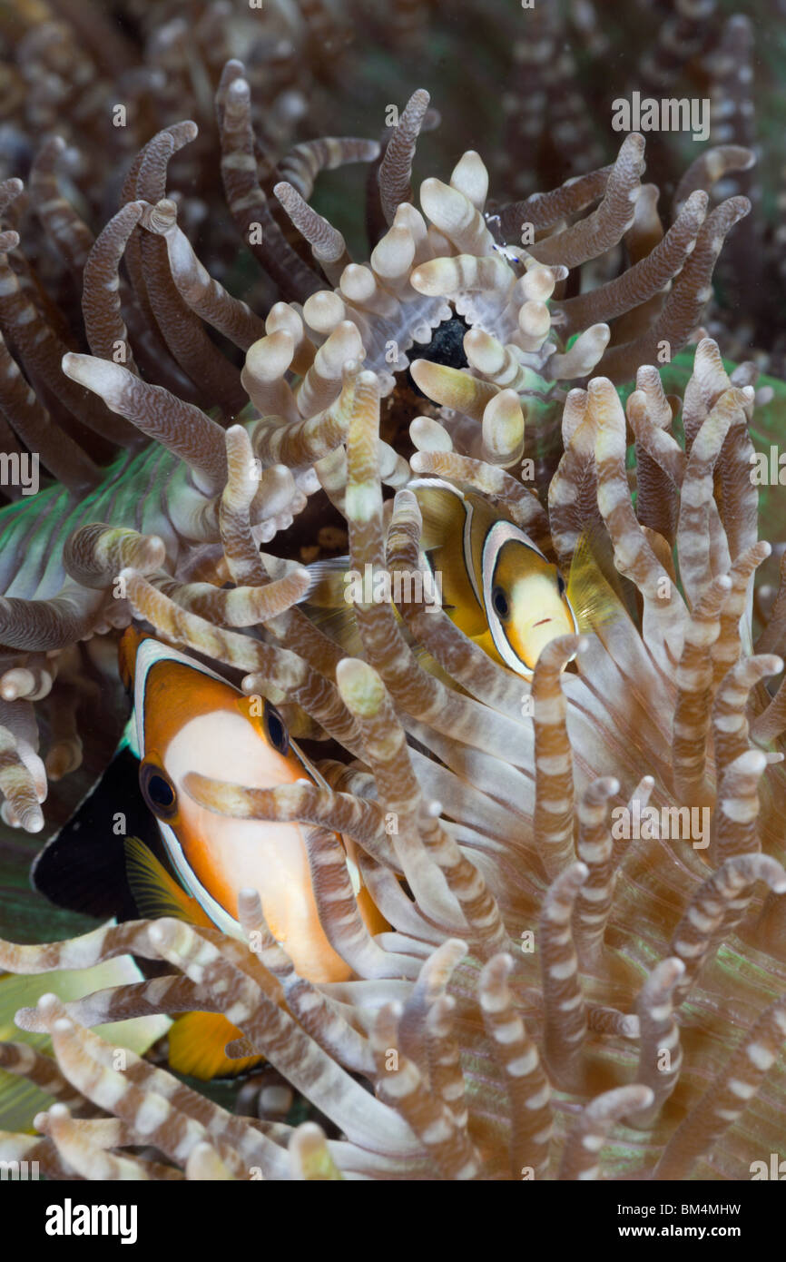 Clarks Anemonefish, Amphiprion clarkii, Lembeh Strait, North Sulawesi, Indonesia - Stock Image
