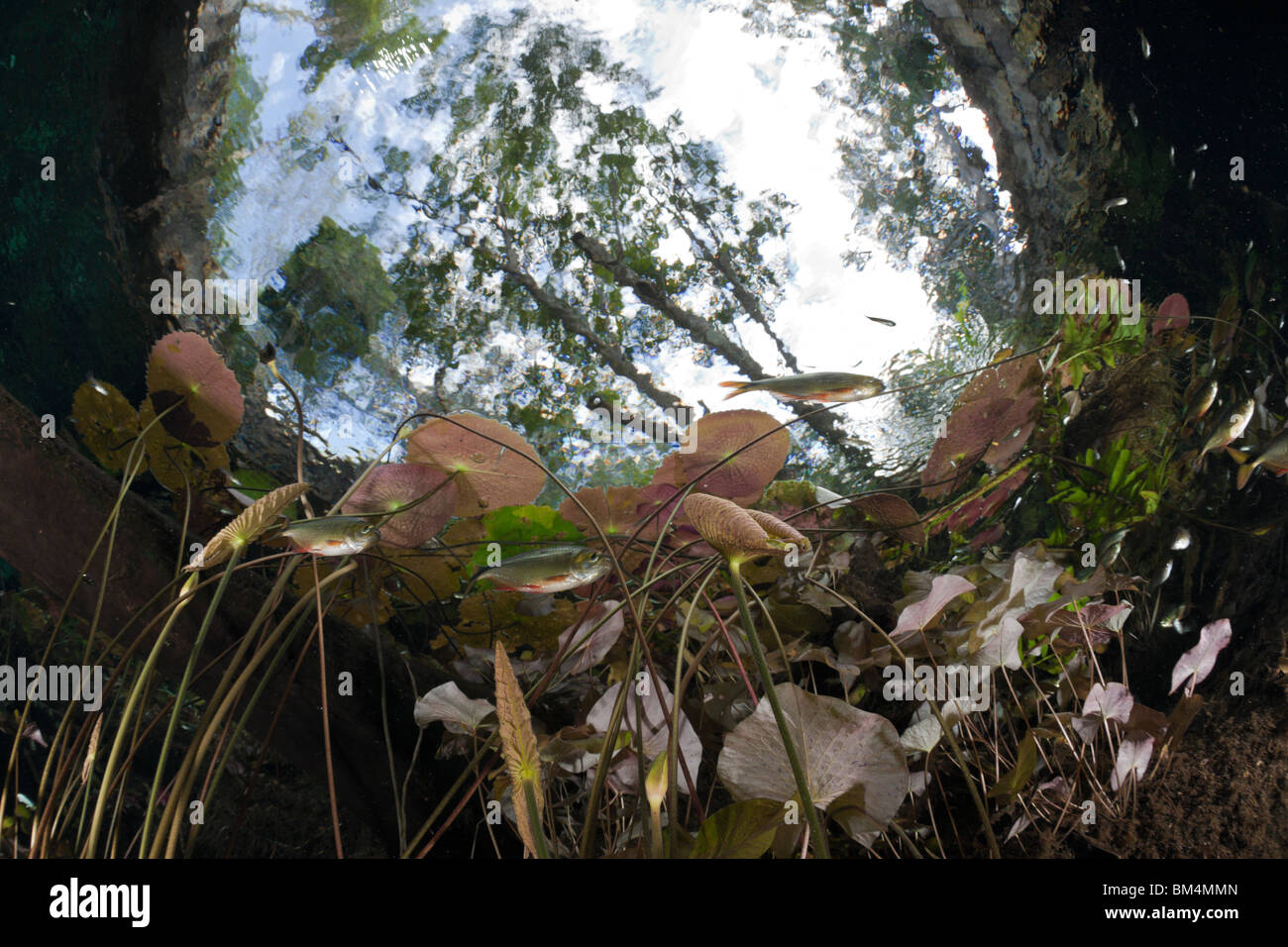 Water Lilies and Shoal of Tetra in Gran Cenote, Astyanax aeneus, Tulum, Yucatan Peninsula, Mexico - Stock Image