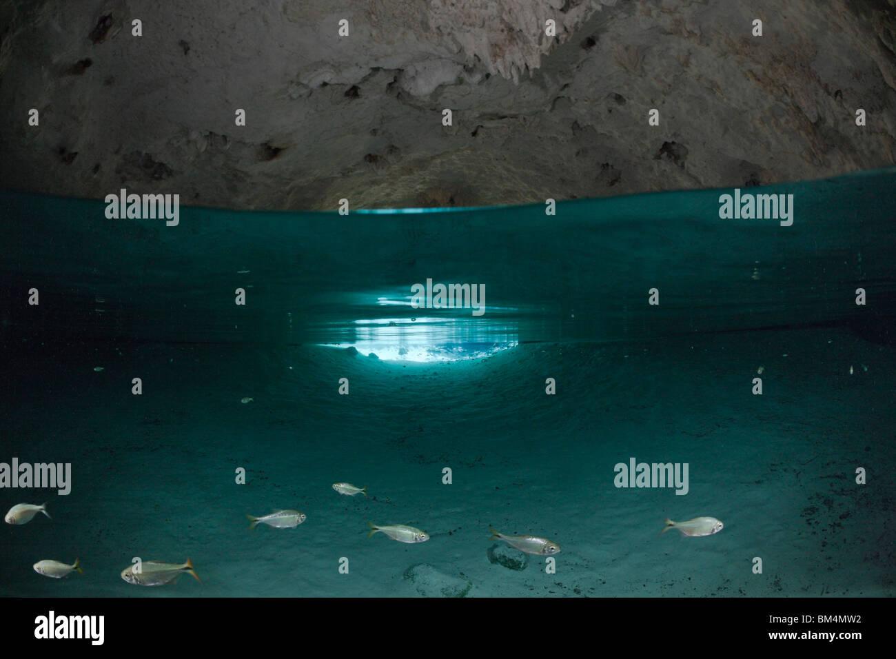 Tetra in Gran Cenote, Astyanax aeneus, Tulum, Yucatan Peninsula, Mexico - Stock Image