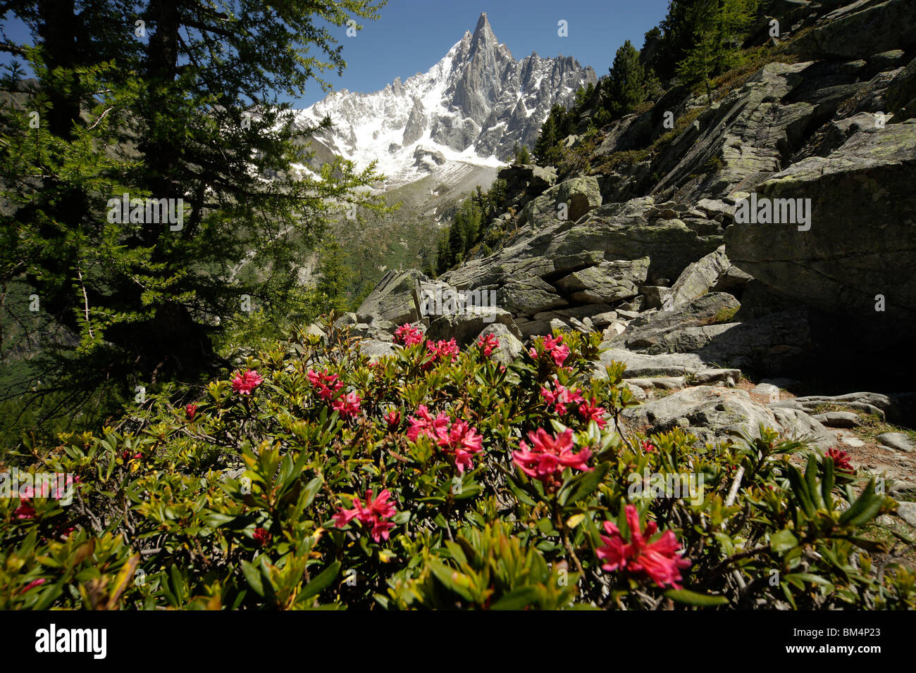 rhododendron and the Aiguille du Dru, a double-peaked mountain in the Mont Blanc Massif in Chamonix-Mont-Blanc, - Stock Image