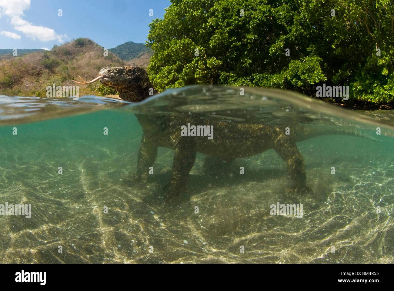 Komodo Dragon in Lagoon, Varanus komodoensis, Komodo Nationalpark, Indonesia - Stock Image