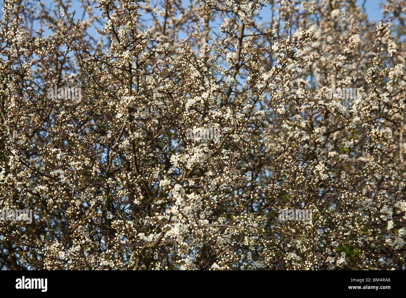 Hawthorn tree in blossom , Hampshire, England. - Stock Image