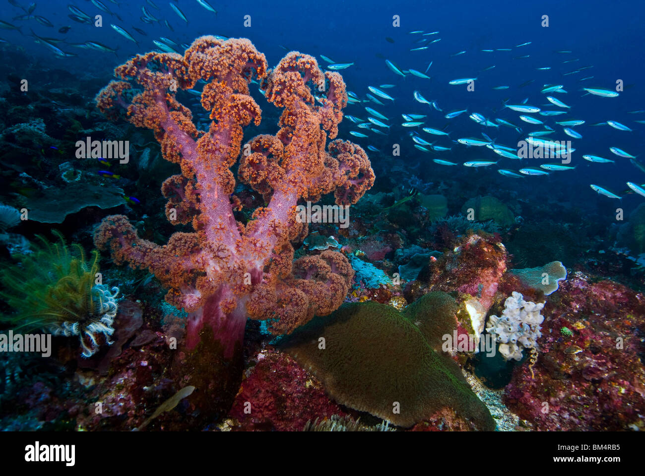 Soft Coral at Coral Reef, Dendronephthya sp., Pura Island, Alor Archipel, Lesser Sunda Islands, Indonesia - Stock Image