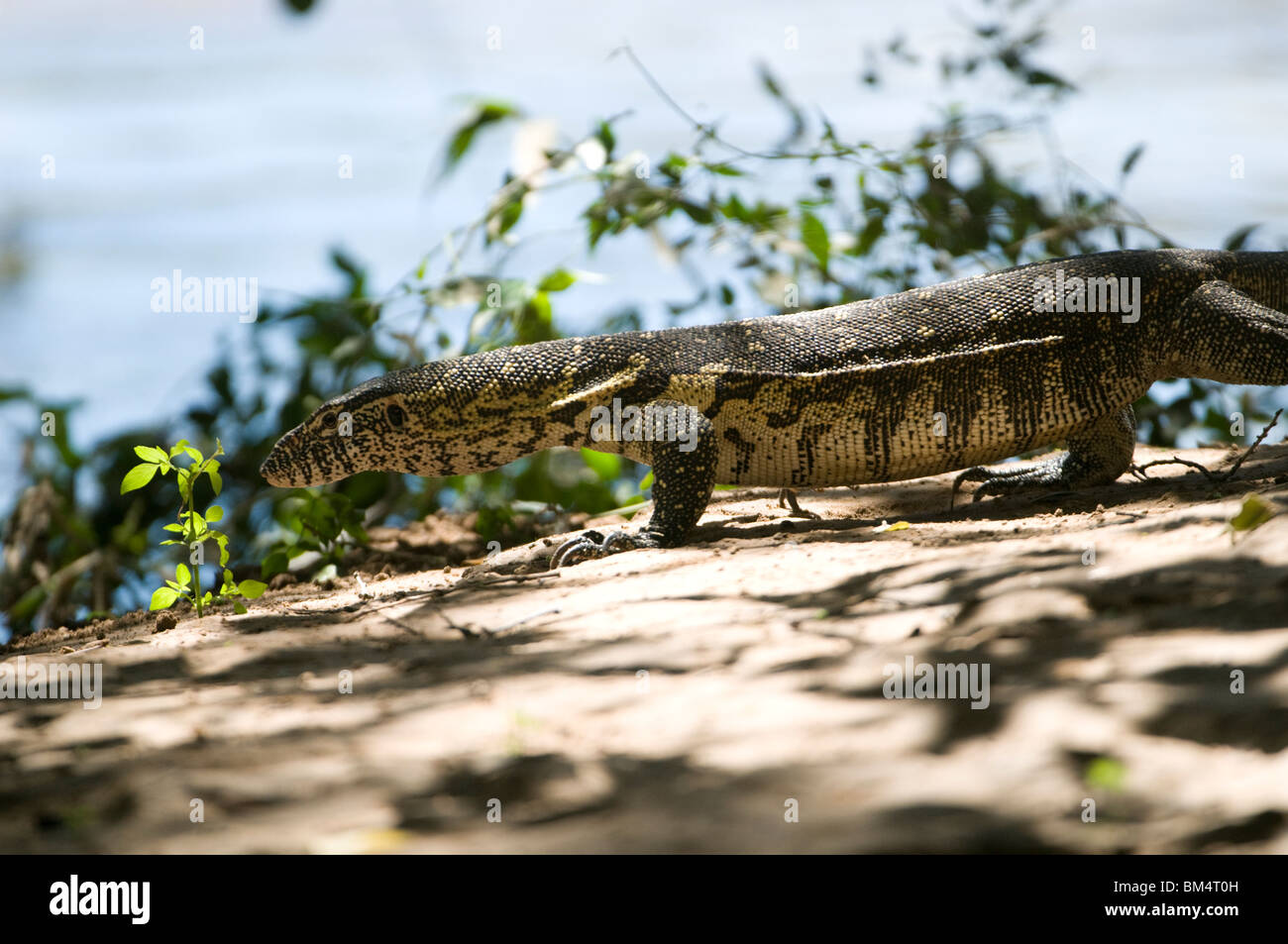 Water monitor on the banks of the Kunene river, Namibia. - Stock Image