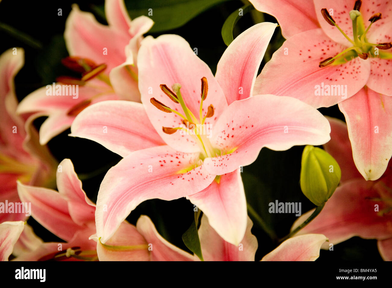 lilis lilies liles pink lilys - Stock Image