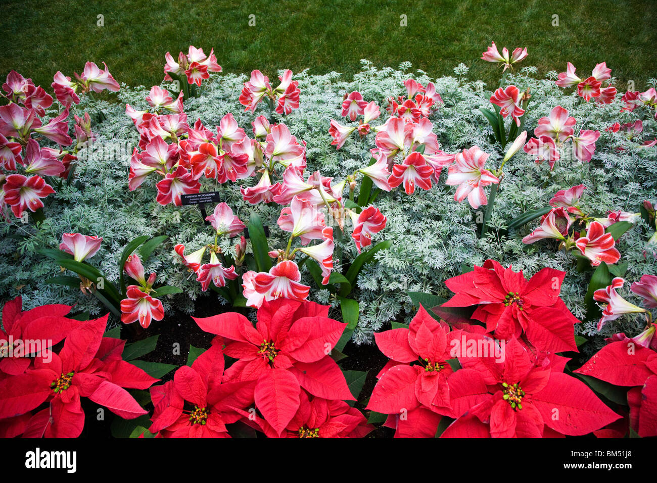 Poinsettia and Amaryllis (Hippeastrum, Intokazi) Longwood Gardens, former Du Pont estate, Kennett Square, Pennsylvania, Stock Photo