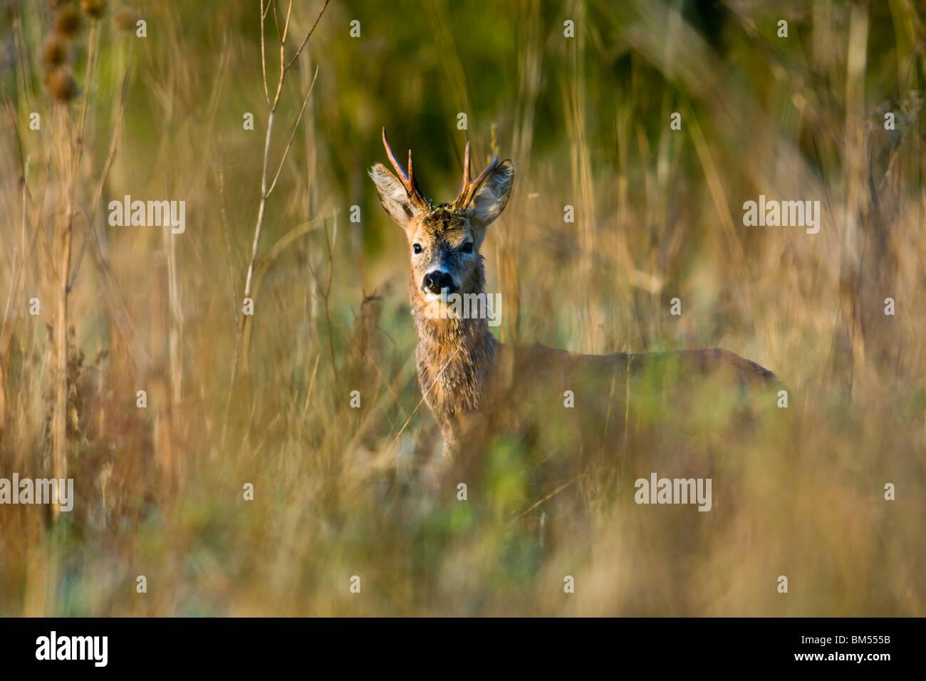 Roe Buck in morning sun - Stock Image